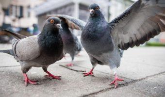 Le pigeon, une si mauvaise réputation
