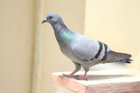 Le pigeon, victime des préjugés