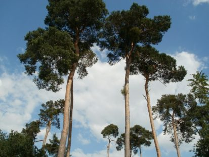 Pin Sylvestre, image de l'arbre