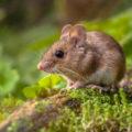 Adoptez une souris de compagnie, c'est trognon !