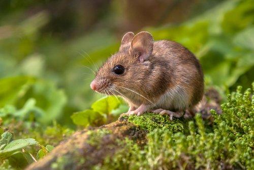 La souris, un adorable petit rongeur