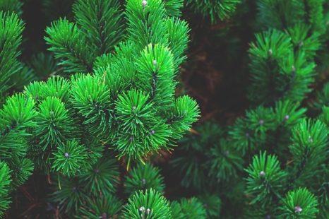 Conifères : un arbre aux multiples variétés !