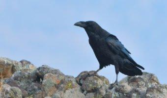 Le corbeau, la mauvaise réputation