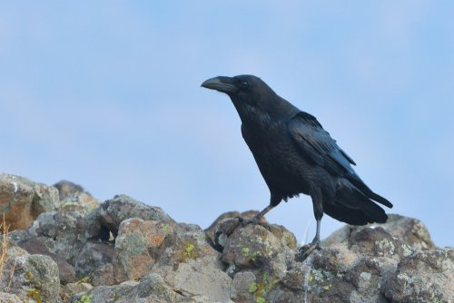 Photo of Le corbeau, la mauvaise réputation