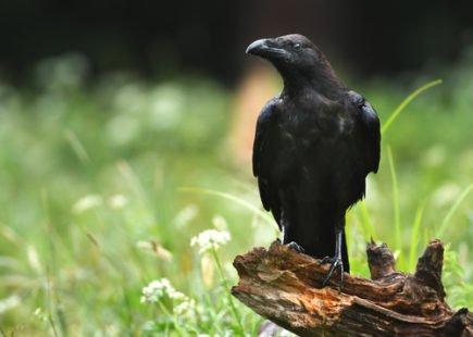 Un oiseau, victime de sa mauvaise réputation