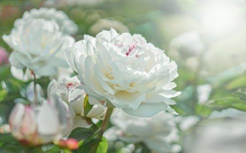 Fleur blanche : pureté et innocence