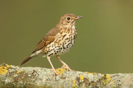 La grive, ce petit oiseau migrateur