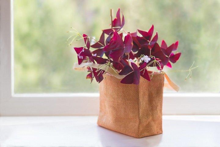 oxalis une plante de sous bois originale et facile cultiver toutvert. Black Bedroom Furniture Sets. Home Design Ideas