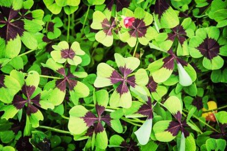 L'oxalis : une plante originale facile à cultiver