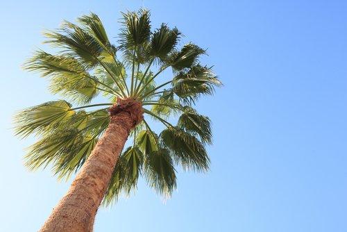 Les bienfaits du palmier de Floride