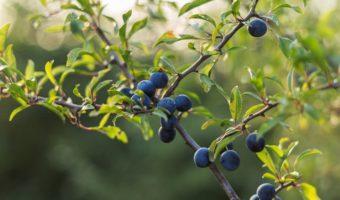 Le prunellier : plante médicinale efficace contre les troubles digestifs