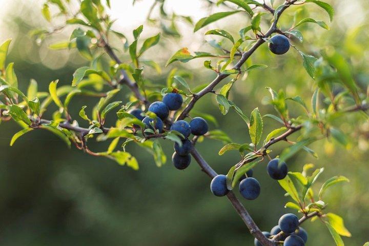 Prunellier, un arbre aux intéressantes vertus médicinales