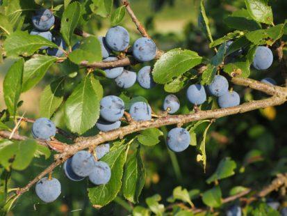 Les fruits du prunellier : en dessert ou à l'apéritif