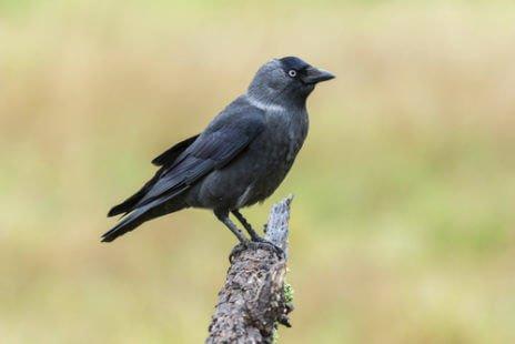 Un oiseau absolument tout noir