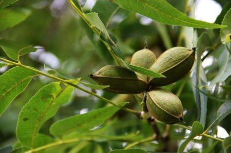 Conseils plantation du pacanier, l'arbre de la célèbre noix