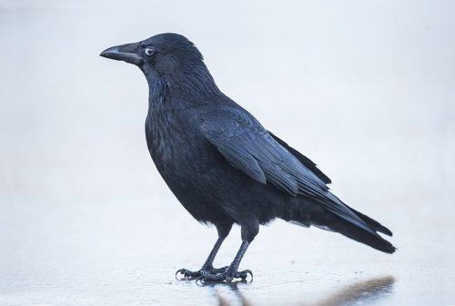 Photo of La corneille, un oiseau vraiment nuisible ?