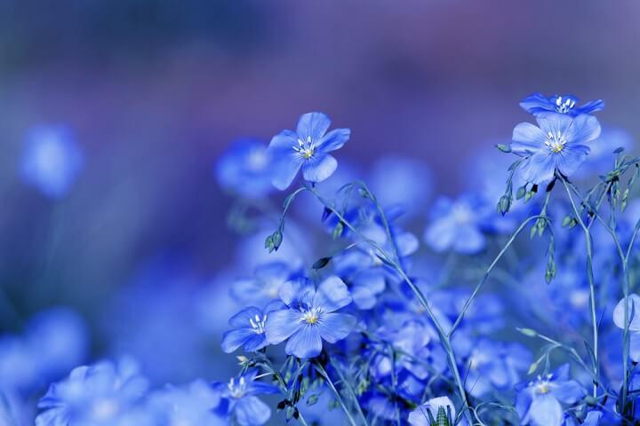 Fleur bleue  de la botanique à la symbolique, en passant