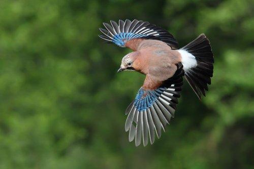 Le geai, un oiseau essentiel à l'équilibre écologique