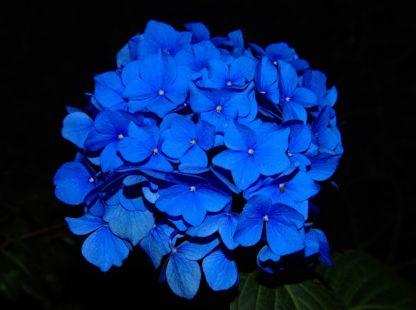 Magnifique hortensia bleu