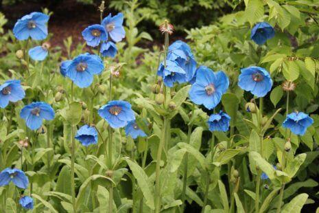 Des pavots bleus