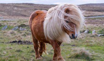 Le poney, le petit cheval qui a la cote