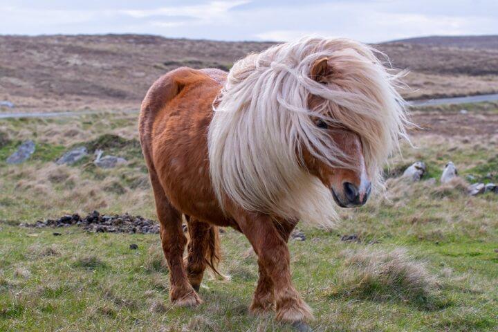 Le poney, un petit cheval