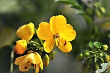 Les fleurs jaunes du séné