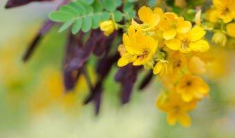 Séné : une plante médicinale laxative incontournable !
