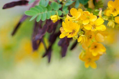 Séné : plante médicinale
