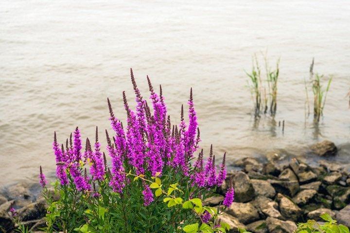 La salicaire, une plante médicinale à découvrir