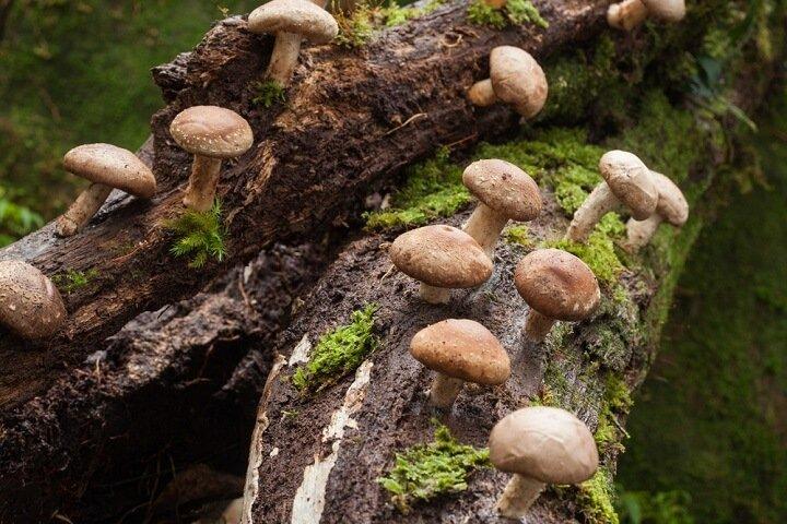 shiitaké : champignon aux vertus médicinales