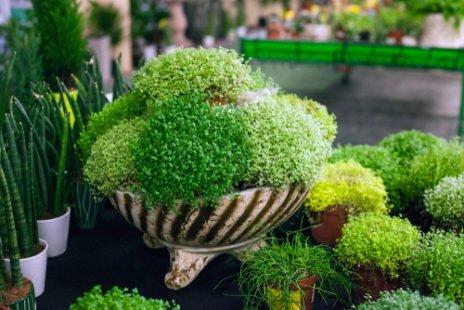 Tous les secrets de jardinage de l' helxine