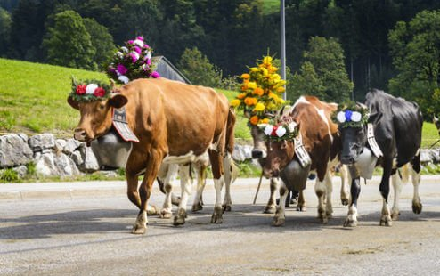Transhumance : tradition ou folklore ?