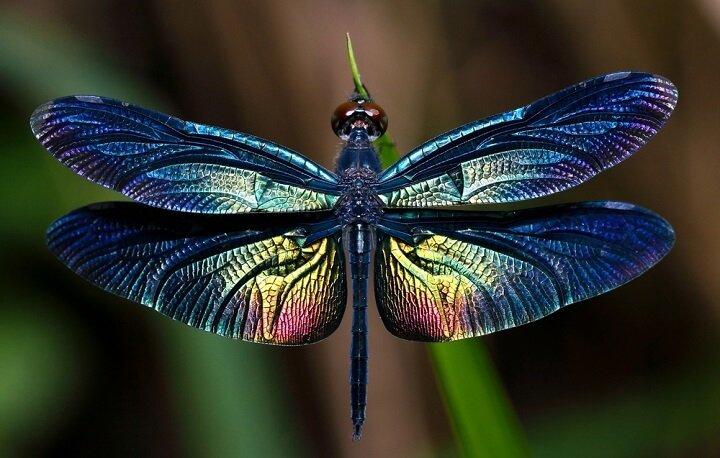 Majestuseuse libellule !
