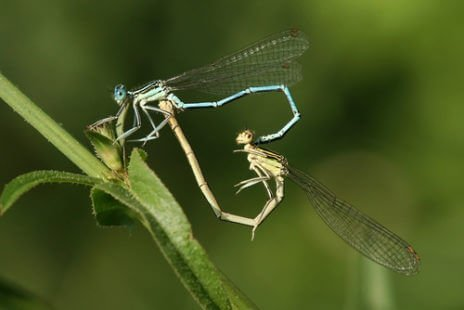 "Reproduction en ""coeur"" de deux libellules"