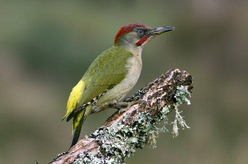 Photo of Le pivert, l'oiseau qui se tape la tête contre les arbres