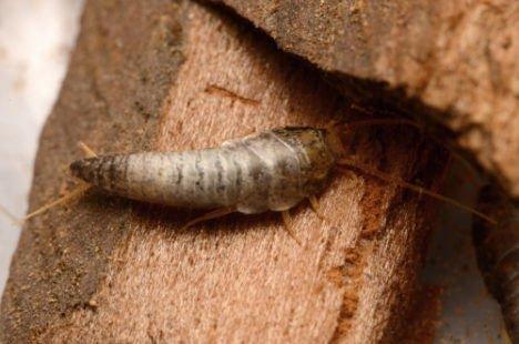 Poisson d'argent : un insecte qui aime les livres