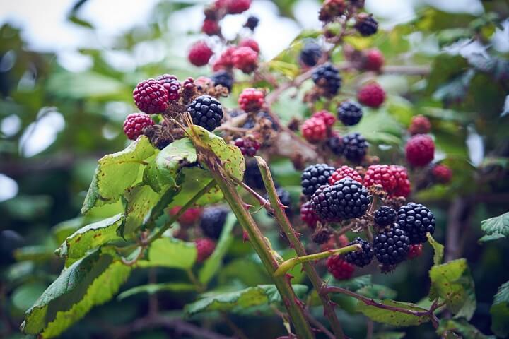 Photo of La ronce : le « poison » du jardinier, excellent pour la santé