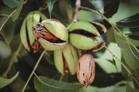 Conseil de plantation du pacanier
