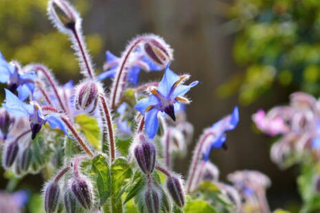 Fleur violette : la bourrache
