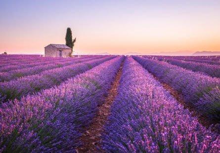 Fleur violette : la lavande