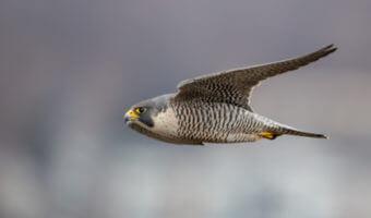 Le faucon pèlerin, une vraie machine à voler