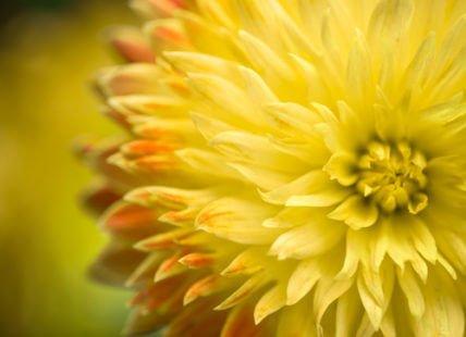 Tous les secrets des fleurs jaunes