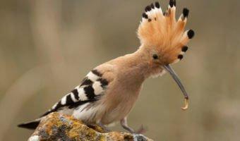 La huppe fasciée, un de nos oiseaux les plus élégants