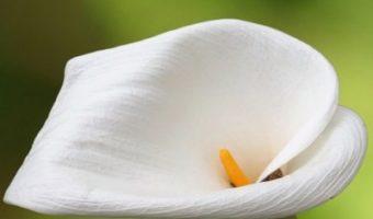 Cultiver l'Arum à la maison ou dans le jardin : c'est ainsi que l'on obtient de magnifiques fleurs