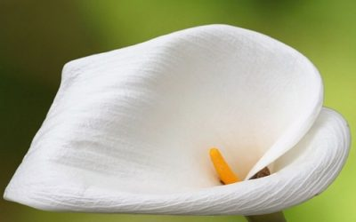 Photo of Cultiver l'Arum à la maison ou dans le jardin : c'est ainsi que l'on obtient de magnifiques fleurs