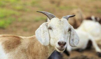 Découvrez notre guide avec toutes les propriétés du lait de chèvre