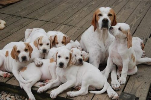 pointer anglais chiots