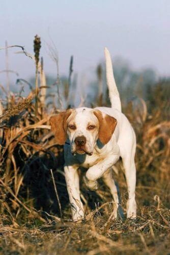 Un vrai chien de chasse, pointer anglais