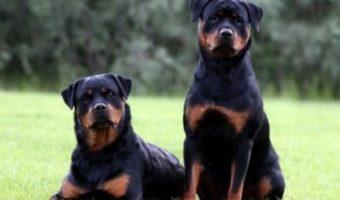 Découvrez toutes les caractéristiques du Rottweiler : apparence, caractère et élevage